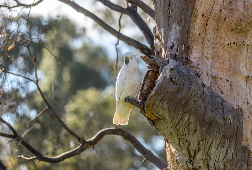 White bird in gum tree